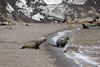 Antarctic Cruise - Day 7 - Deception Island - Whaler's Bay Landing - Fur Seals Along the Beach 05