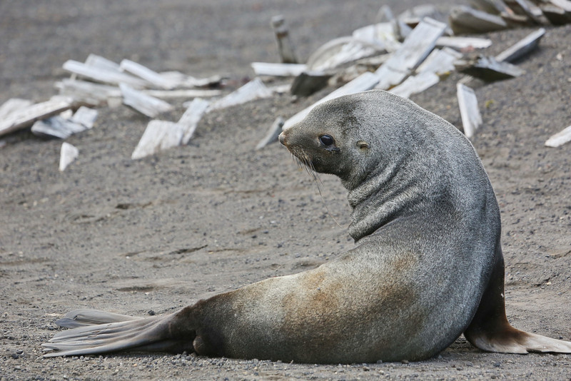 Antarctic Cruise - Day 7 - Deception Island - Whaler's Bay Landing - Seal by Whale Bones 4